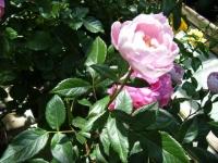 2018-06-09花巻薔薇園029