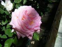 2018-06-09花巻薔薇園027