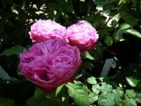 2018-06-09花巻薔薇園026