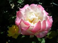 2018-06-09花巻薔薇園025