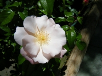 2018-06-09花巻薔薇園033