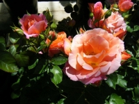 2018-06-09花巻薔薇園042