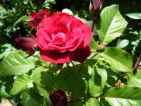 2018-06-09花巻薔薇園040