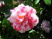 2018-06-09花巻薔薇園039