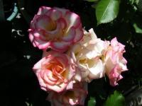 2018-06-09花巻薔薇園038
