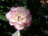 2018-06-09花巻薔薇園037