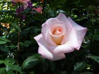 2018-06-09花巻薔薇園048