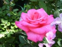 2018-06-09花巻薔薇園047