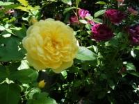 2018-06-09花巻薔薇園043