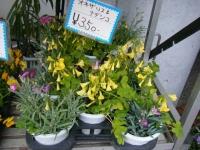 21回大船渡椿祭り2018-03-10重箱石208
