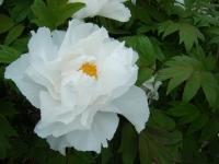 2018-05-13花と泉の公園-牡丹園089