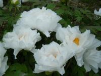 2018-05-13花と泉の公園-牡丹園088