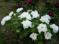 2018-05-13花と泉の公園-牡丹園087