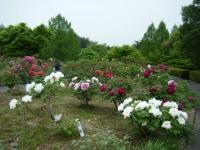2018-05-13花と泉の公園-牡丹園085