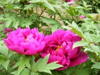 2018-05-13花と泉の公園-牡丹園096