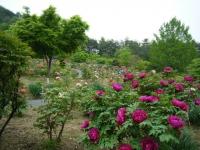 2018-05-13花と泉の公園-牡丹園095