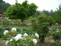 2018-05-13花と泉の公園-牡丹園094