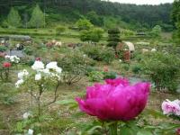 2018-05-13花と泉の公園-牡丹園092