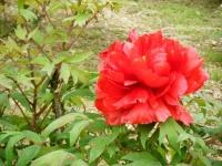 2018-05-13花と泉の公園-牡丹園091