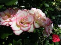 2018-06-09花巻薔薇園053