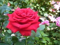 2018-06-09花巻薔薇園051