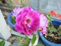 2018-06-09花巻薔薇園050
