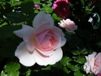2018-06-09花巻薔薇園059