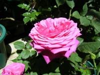 2018-06-09花巻薔薇園058