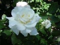 2018-06-09花巻薔薇園055