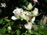 2018-06-09花巻薔薇園056