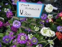 21回大船渡椿祭り2018-03-10重箱石218