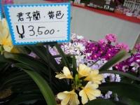 21回大船渡椿祭り2018-03-10重箱石224