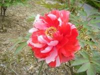 2018-05-13花と泉の公園-牡丹園102