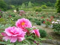 2018-05-13花と泉の公園-牡丹園101