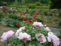 2018-05-13花と泉の公園-牡丹園099