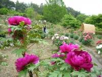 2018-05-13花と泉の公園-牡丹園098