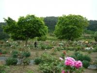 2018-05-13花と泉の公園-牡丹園108