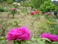 2018-05-13花と泉の公園-牡丹園107