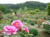 2018-05-13花と泉の公園-牡丹園104