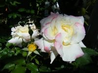2018-06-09花巻薔薇園065