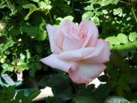 2018-06-09花巻薔薇園063
