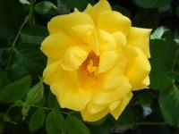 2018-06-09花巻薔薇園062