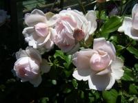 2018-06-09花巻薔薇園072