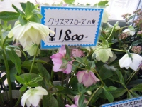 21回大船渡椿祭り2018-03-10重箱石230