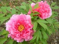 2018-05-13花と泉の公園-牡丹園114