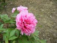 2018-05-13花と泉の公園-牡丹園113