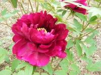 2018-05-13花と泉の公園-牡丹園111