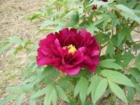 2018-05-13花と泉の公園-牡丹園110