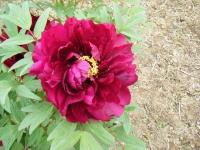 2018-05-13花と泉の公園-牡丹園109