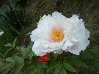 2018-05-13花と泉の公園-牡丹園118